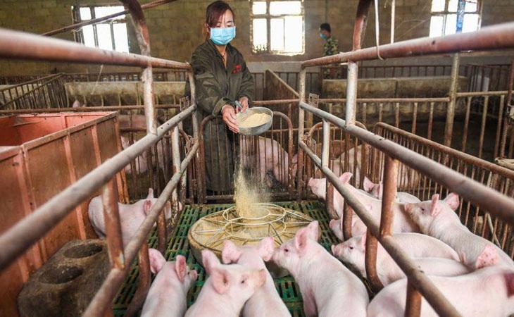 huawei-pig-farming-techpana